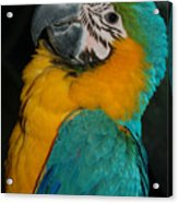 Tango, The Blue And Gold Macaw Acrylic Print