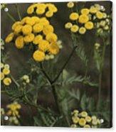 Tansy Blossoms Acrylic Print