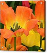 Tantalizing Tulips Acrylic Print