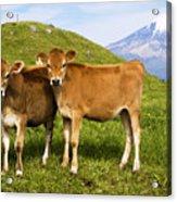 Taranaki, Dairy Cows Acrylic Print by Himani - Printscapes