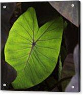 Taro Hoomaluhia 2 Acrylic Print