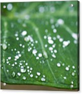 Taro Leaf Acrylic Print
