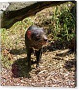Tasmanian Devil 2 Acrylic Print