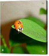 Tattered Ladybug Acrylic Print
