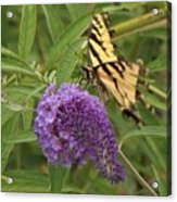 Tattered Tiger Swallowtail Butterfly          August         Indiana Acrylic Print