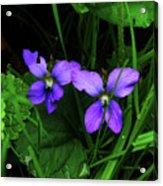 Tattered Wild Violets Acrylic Print