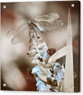 Tattered Wings B1 Acrylic Print