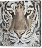 Taupe Tiger Acrylic Print