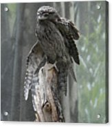 Tawny Frogmouth With It's Eyes Closed And Wing Extended Acrylic Print