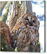 Tawny Owls Acrylic Print