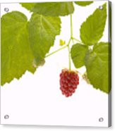 Tayberry Acrylic Print