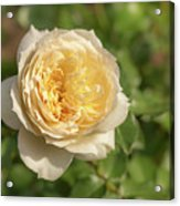 Tchaikovski Hybrid Tea Rose, White Rose Originally Produced By  Acrylic Print