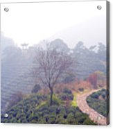 Tea Field Acrylic Print