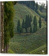 Tea Garden In Darjeeling Acrylic Print