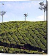 Tea Planation In Kerala - India Acrylic Print