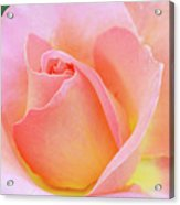 Tea Rose-elle  Acrylic Print