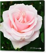 Tea Rose In Pink Acrylic Print