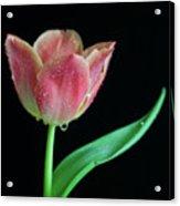 Teardrop Tulip Acrylic Print by Tracy Hall