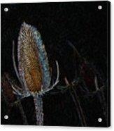 Teasel Glow Acrylic Print