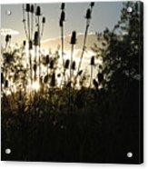 Teasel Sunset Glow Acrylic Print