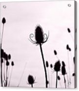 Teasels In A French Field  II Acrylic Print