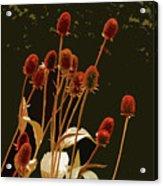 Teazels In A Secret Garden  Acrylic Print