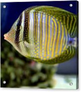 Technicolor Fish Acrylic Print