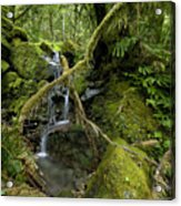Temperate Rain Forest Waterfall Acrylic Print