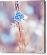 Tender Forget-me-not Flower Acrylic Print