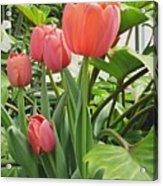 Tender Tulips Acrylic Print