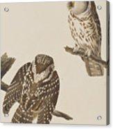 Tengmalm's Owl Acrylic Print