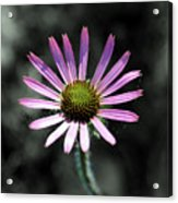 Tennessee Cone Flower Acrylic Print