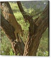 Terengeti Lioness Acrylic Print