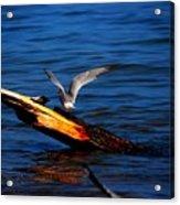 Tern Around Acrylic Print