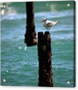 Tern Gulfstream Florida Acrylic Print