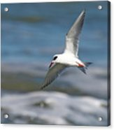 Tern Over The Waves Acrylic Print