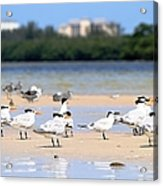Terns At Fort Myers Acrylic Print