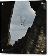 Tern Through The Gap Acrylic Print
