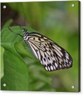 Terrific Capture Of A Paper Kite Butterfly On A Leaf Acrylic Print