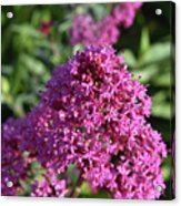Terrific Cluster Of Blooming Pink Phlox Flowers Acrylic Print