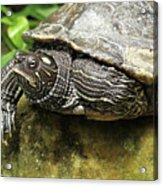 Tess The Map Turtle #2 Acrylic Print