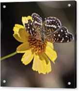 Texan Crescent Butterfly On Marigold-img_1348-2016 Acrylic Print