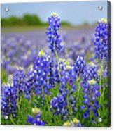 Texas Blue - Texas Bluebonnet Wildflowers Landscape Flowers  Acrylic Print