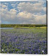 Texas Bluebonnet Bliss Acrylic Print