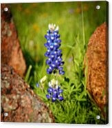 Texas Bluebonnet Acrylic Print by Jon Holiday