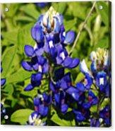 Texas Bluebonnets 005 Acrylic Print