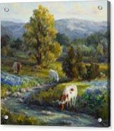 Texas Bluebonnets And Longhorns Acrylic Print