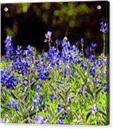 Texas Bluebonnets IIi Acrylic Print