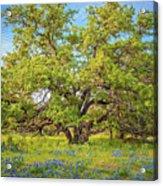 Texas Bluebonnets Under A Giant Oak Tree Acrylic Print