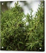 Texas Cedar Tree Acrylic Print